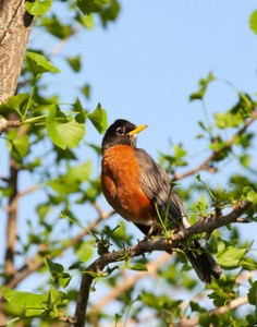 American robin CCBY2 ibm4381 flickr